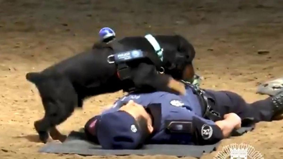 Собака, служащая в муниципальной полиции Мадрида, научилась проводить сердечно-легочную реанимацию