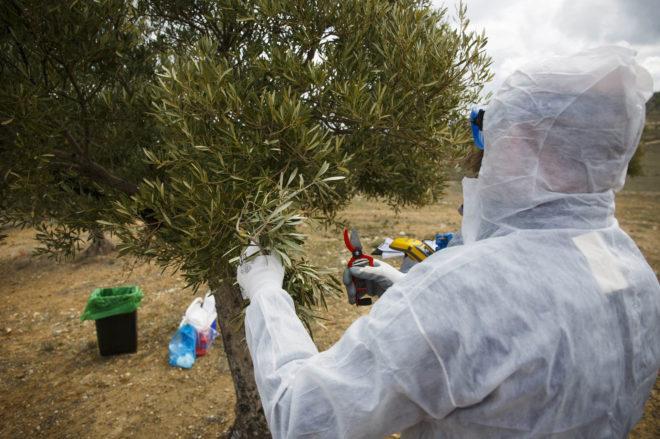 В Испании разработали новую технологию по борьбе с «оливковой эболой»