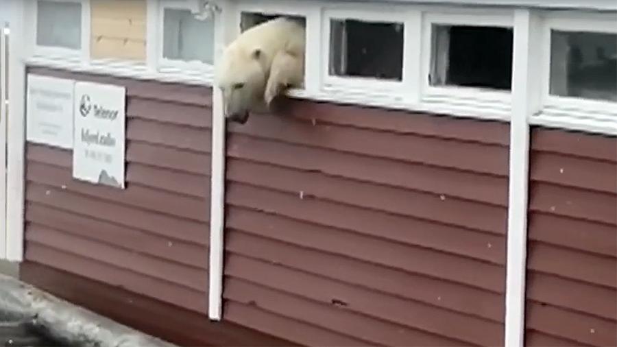 Объевший туристов белый медведь застрял в окне отеля на Шпицбергене