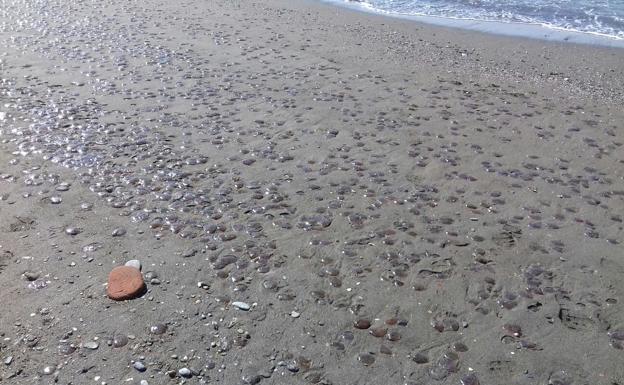 Побережье Андалусии заполонили тысячи медуз