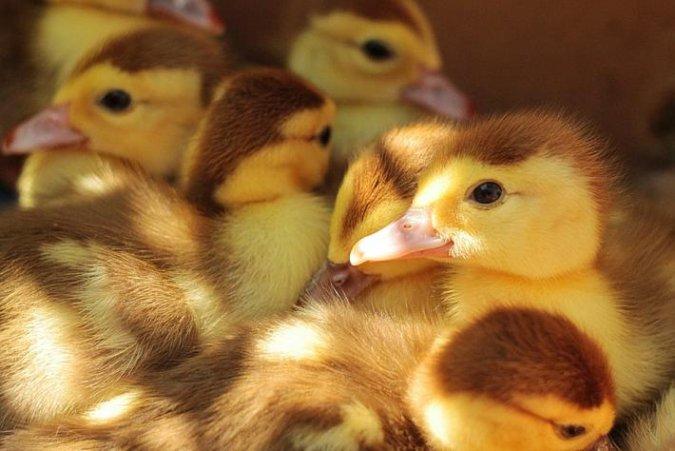 Бельгия запретит насильно кормить гусей