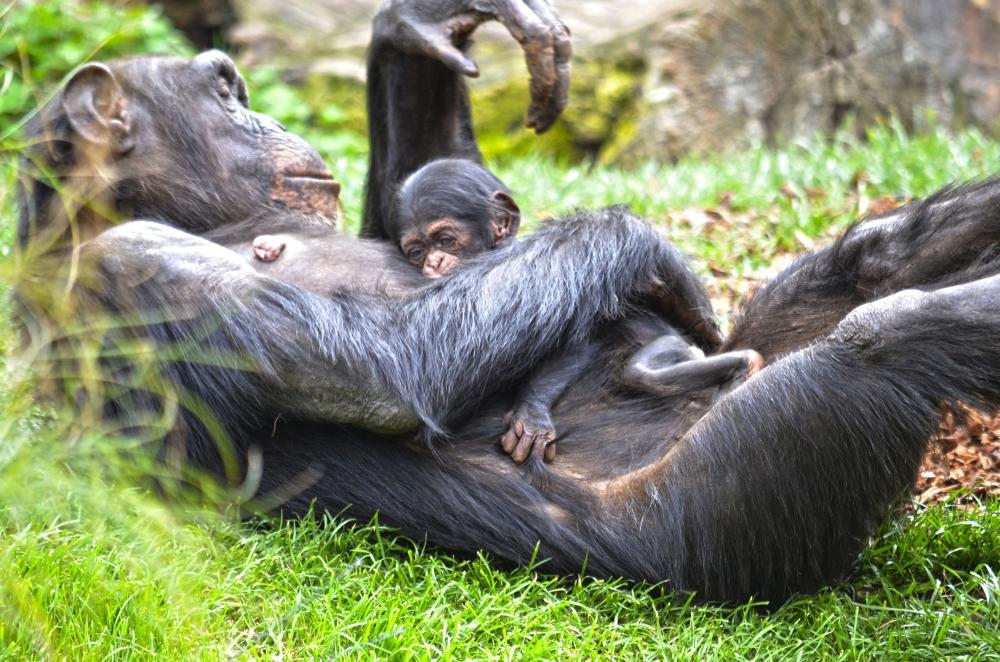 Детеныш шимпанзе родился на глазах у посетителей валенсийского биопарка