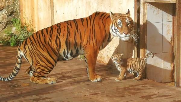 В природном парке Кабасерно произошло пополнение в семействе бенгальских тигров