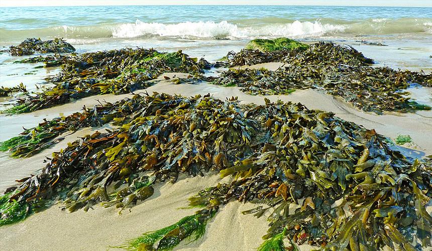Прибрежные воды и пляжи Доминиканы заполонили водоросли