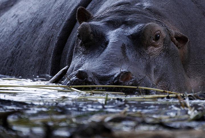 В Кении от укуса бегемота погиб китайский турист