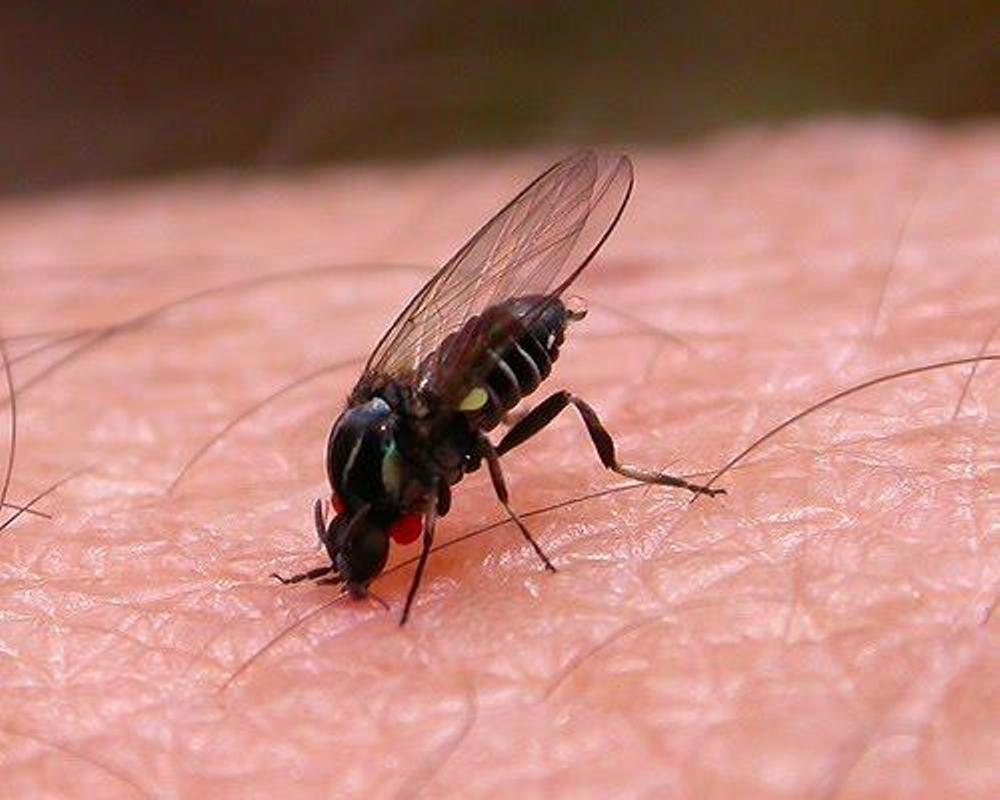 Черная муха расширяет свой ареал обитания в Испании
