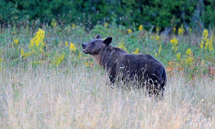 Турист напугал напавшего на него бурого медведя