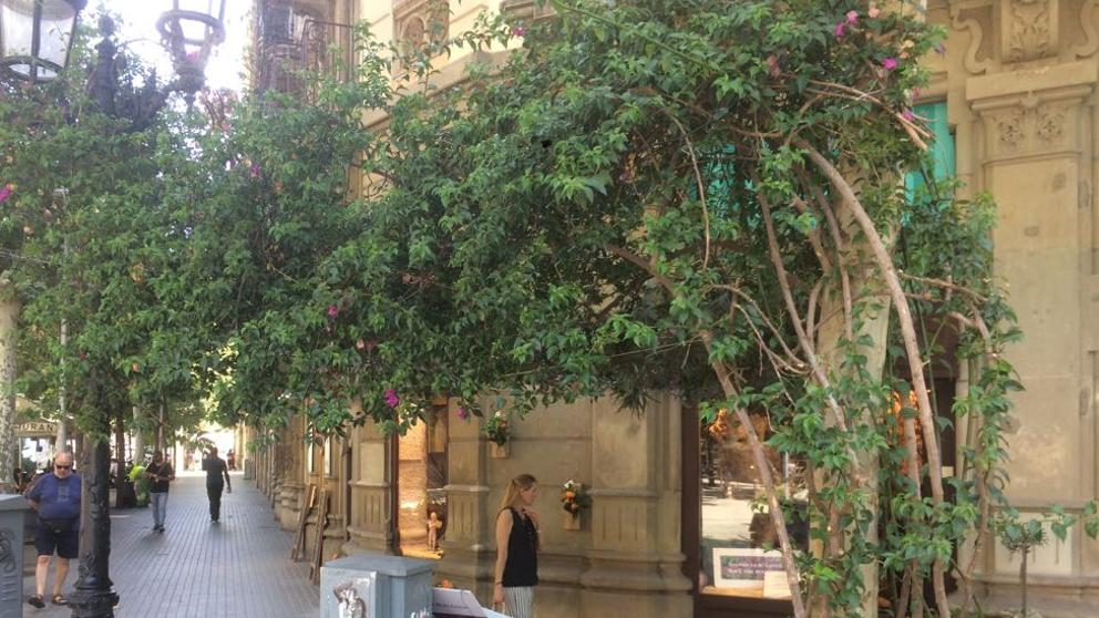 Хозяйка цветочного магазина ведет борьбу за спасение уличной бугенвиллеи