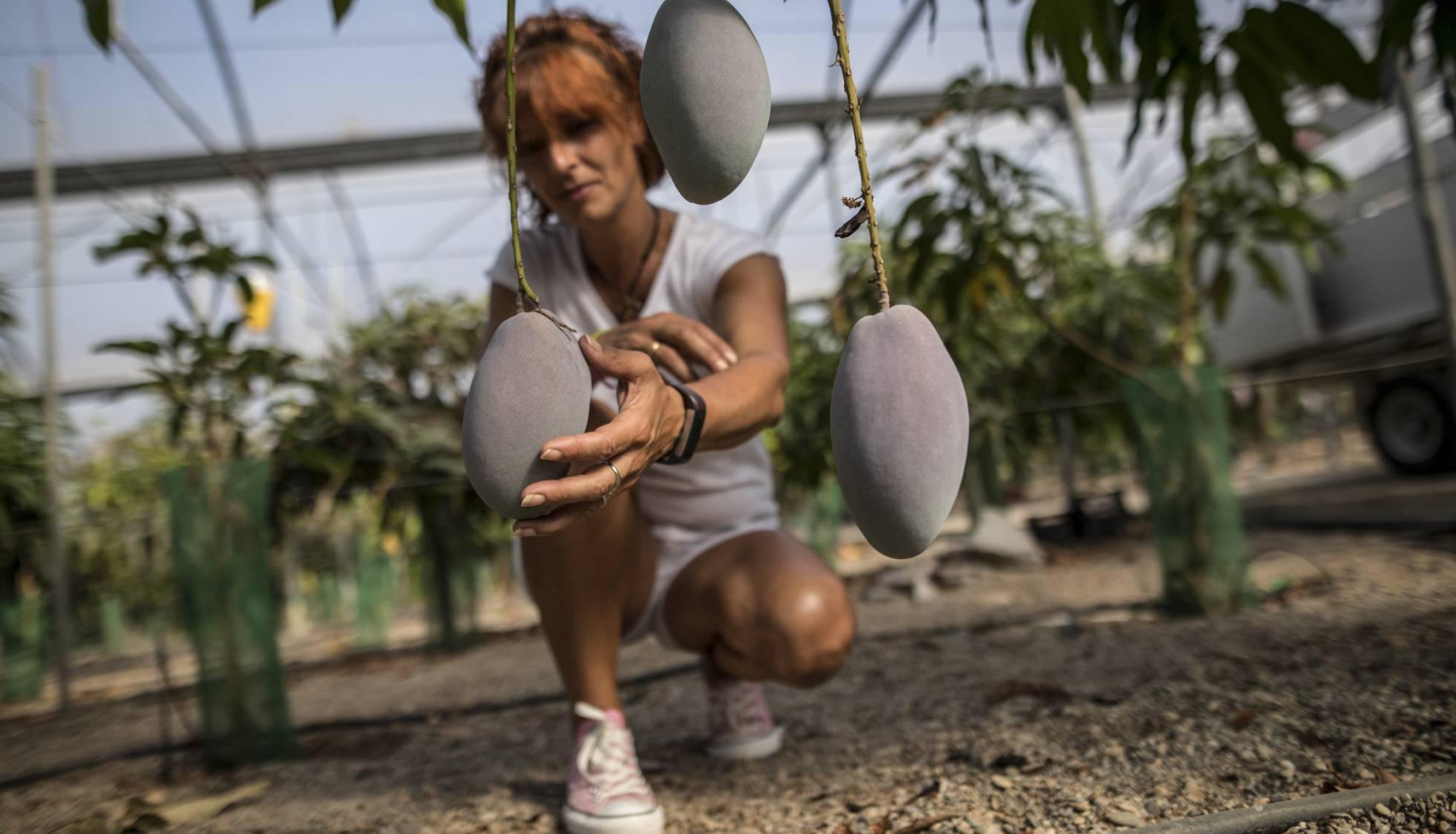 В Испании бум по производству тропических фруктов