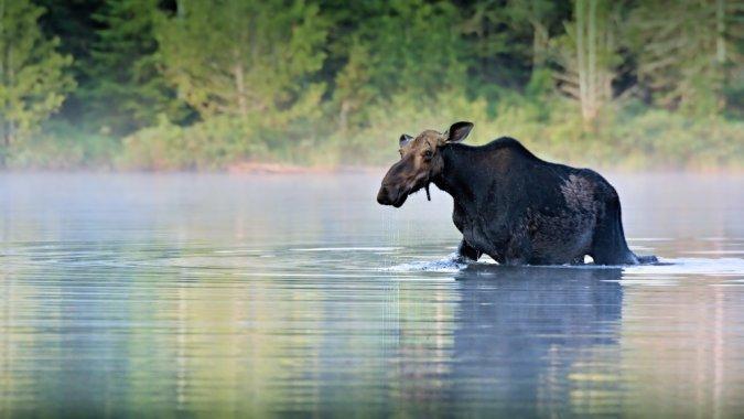 Спасаясь от туристов, в озере утонул лось
