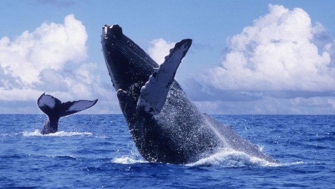 Горбатые киты влюбляются на полтора месяца раньше срока