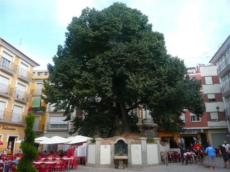 В провинции Кастельон растет лучшее дерево Испании