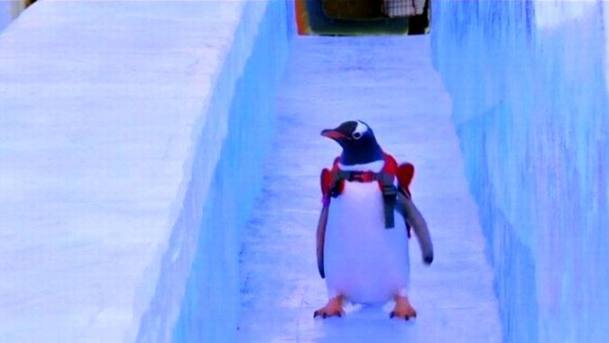 Танцы пингвинов в Харбине