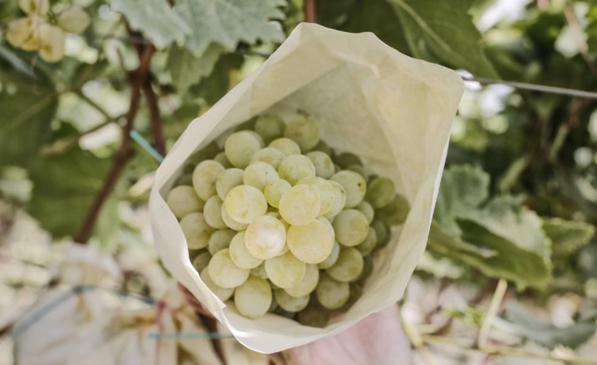 Винограда из Аликанте набирает популярность в Испании и выходит на азиатский рынок