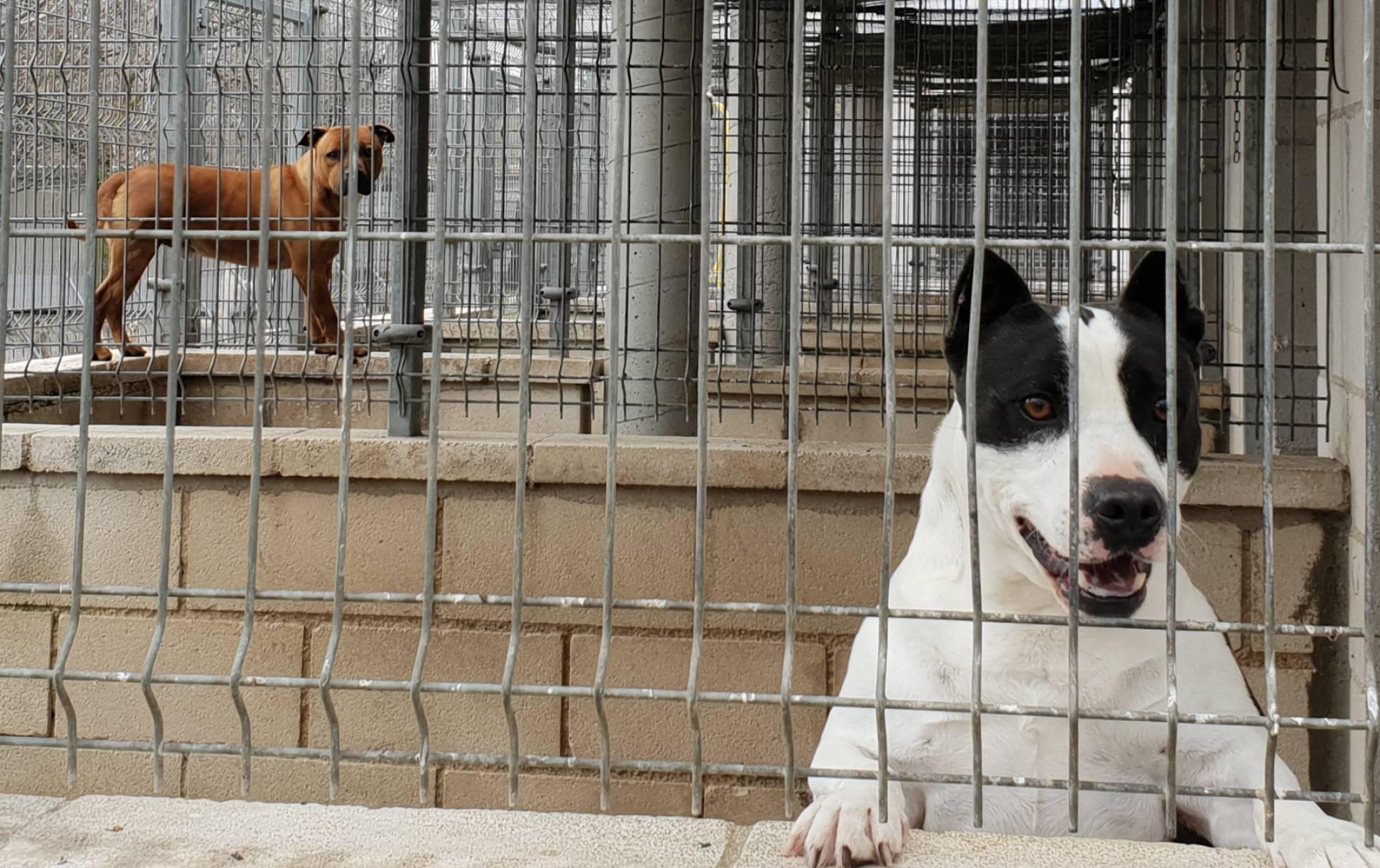 Проблема потенциально опасных пород собак в приютах для животных Мадрида