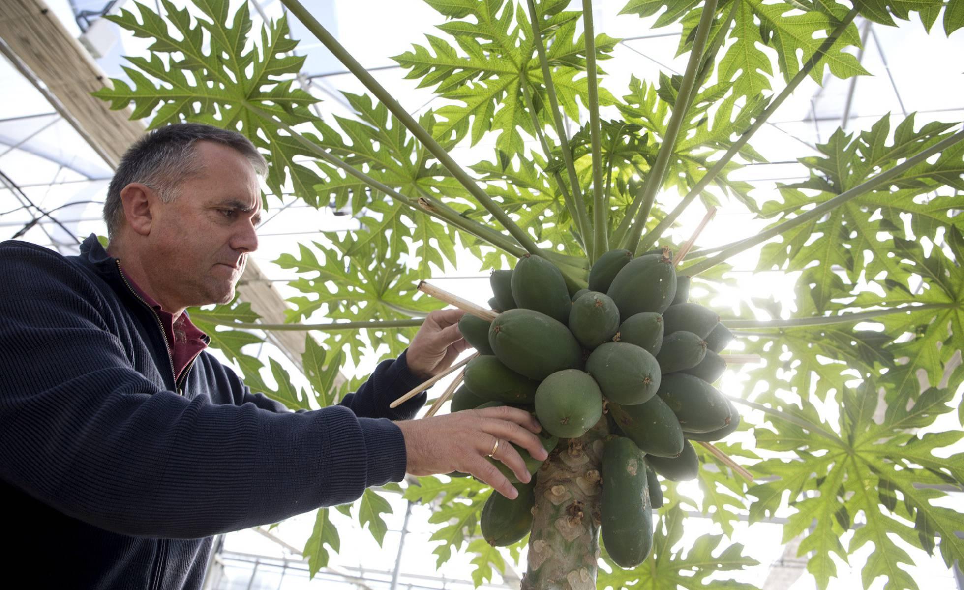 Ученые Малаги исследуют возможность адаптации тропических фруктовых деревьев