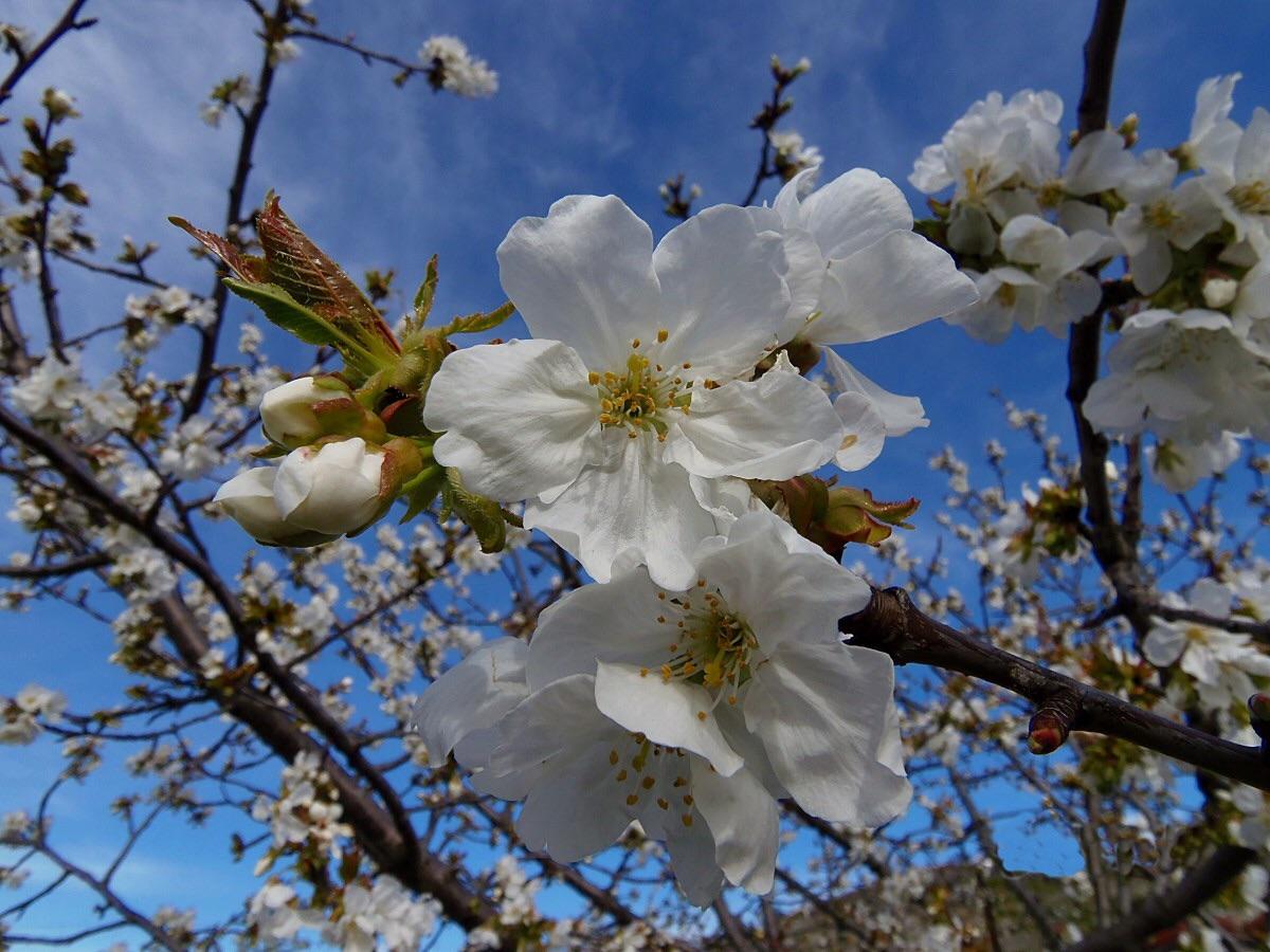 Все, что нужно знать о цветении вишни в долине Херте