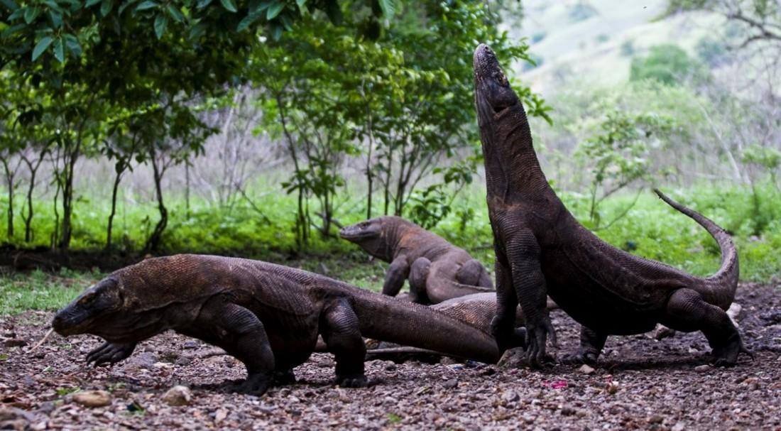 С 2020 года Индонезия закроет для туристов остров Комодо