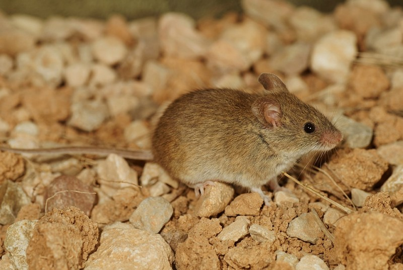 Ученые из Андалусии используют диких мышей для определения уровня загрязненности воздуха