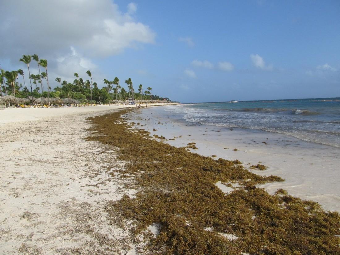 На карибские пляжи «принесло» саргассы