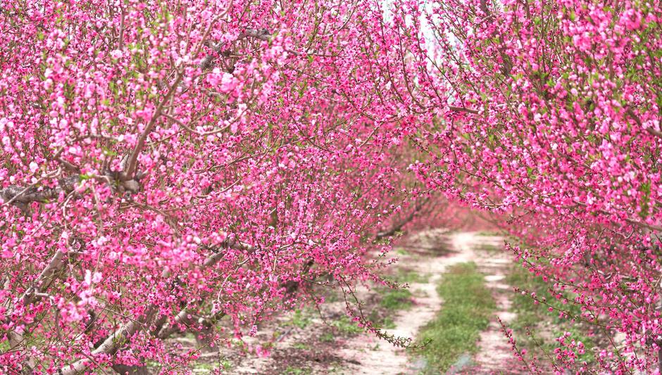 Волшебство  цветущих персиковых деревьев региона Мурсия