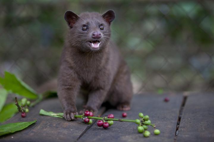 Самый дорогой кофе в мире «добывают» из кала местного зверька. Впечатления белоруски от поездки на Бали