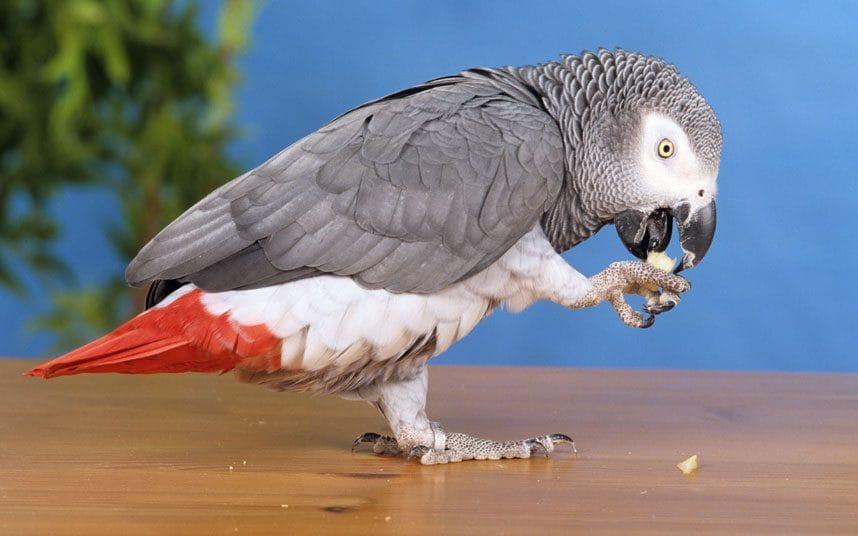 Британский попугай, пропавший на четыре года, вернулся говоря на испанском