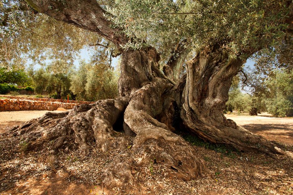 Путешествие к тысячелетним оливковым деревьям