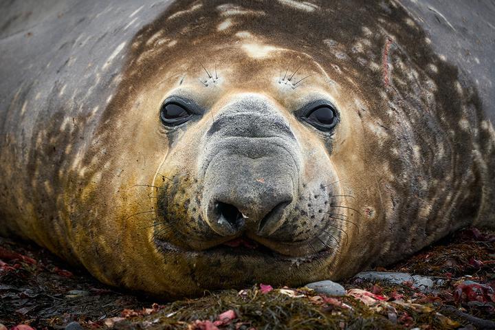 Морской слон. Фото: Родриго Морага