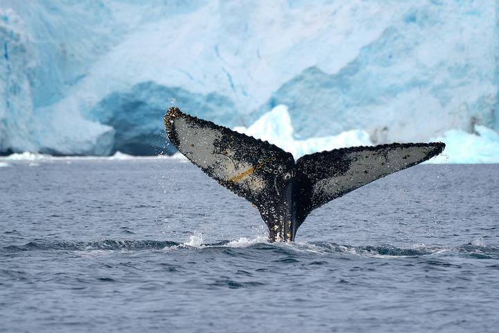 Горбатый кит в заливе Форньер. Фото: Родриго Морага