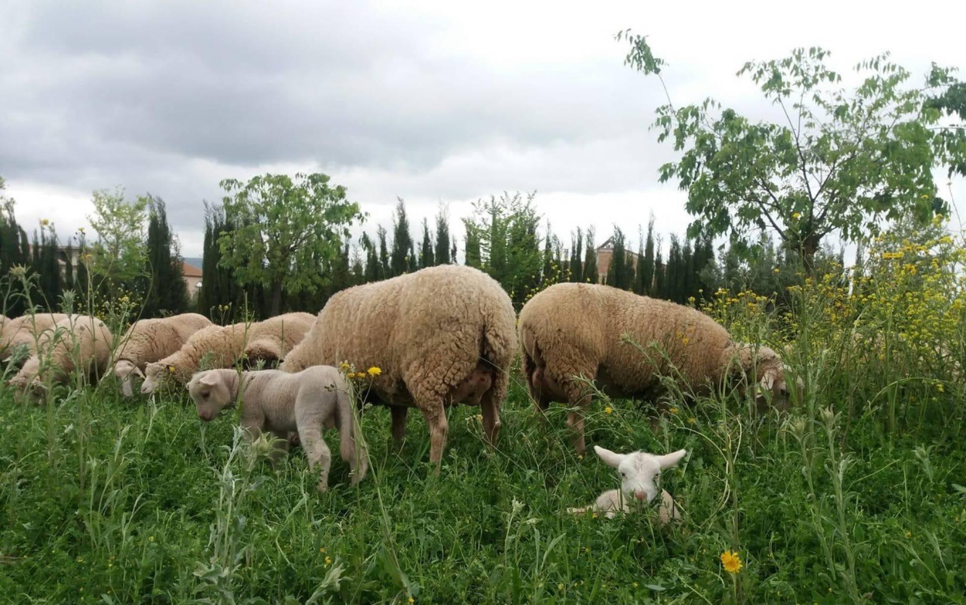Бригада овец-садовников помогает наводить порядок в провинции Кадис