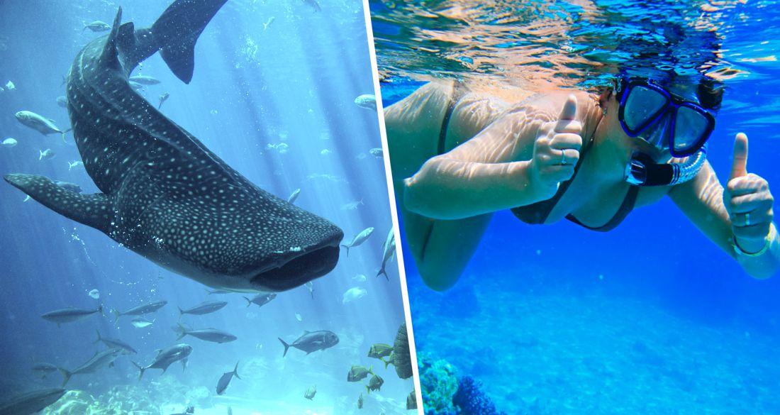 На курорты Египта идет нашествие китовых акул