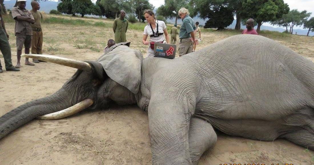 Коронавирус или сибирская язва: в Африке массово гибнут слоны