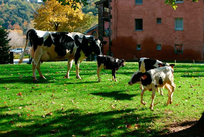 Ферма, где коровы слушают Баха, а люди получают возможность социальной реабилитации