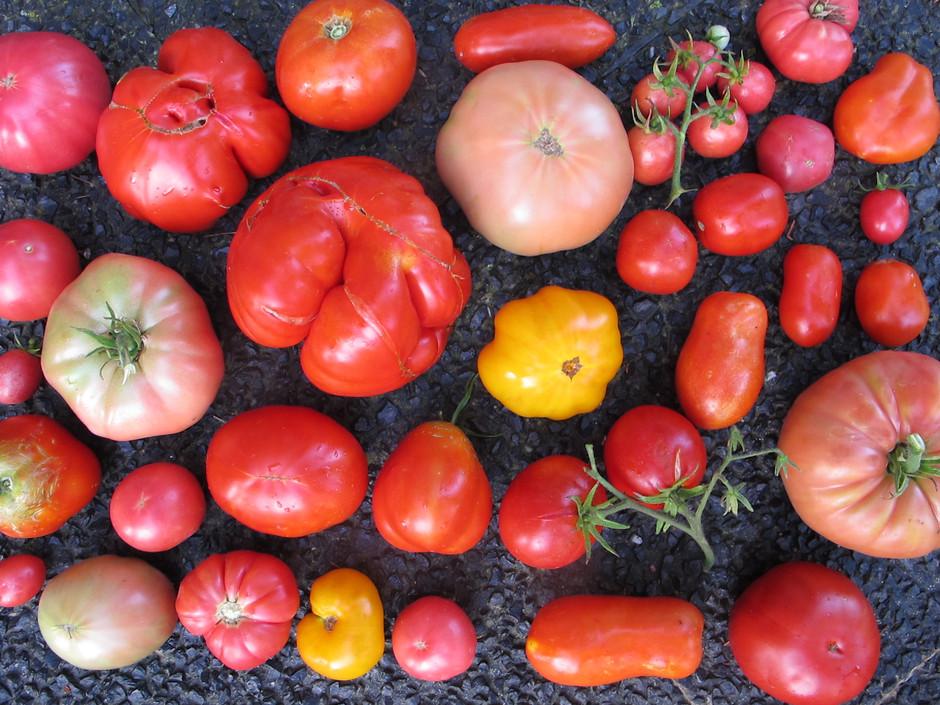 Банк семян в Сарагосе хранит семена более 3000 сортов томатов