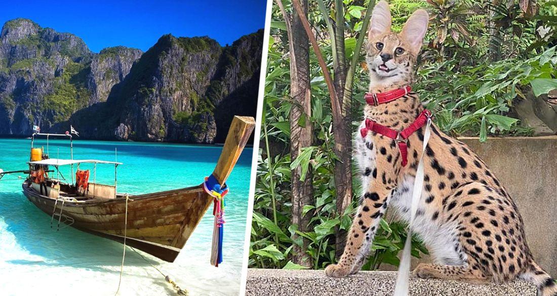 Россияне потеряли на Пхукете африканского дикого кота