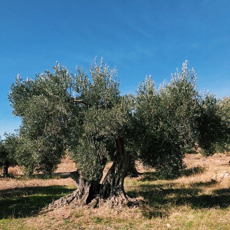 Подарить оливковое дерево на Рождество – помочь развитию маленькой деревни Испании