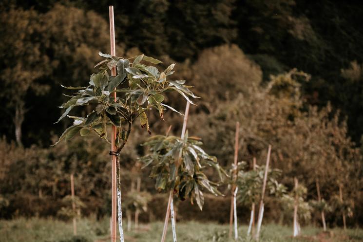 На севере Испании теперь тоже выращивают авокадо