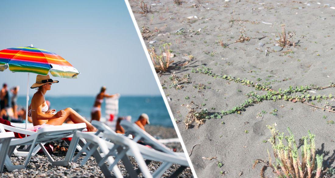 На пляжах Сочи началась экспансия ядовитого сорняка