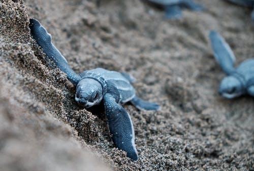 Морские черепахи облюбовали пляжи Аликанте