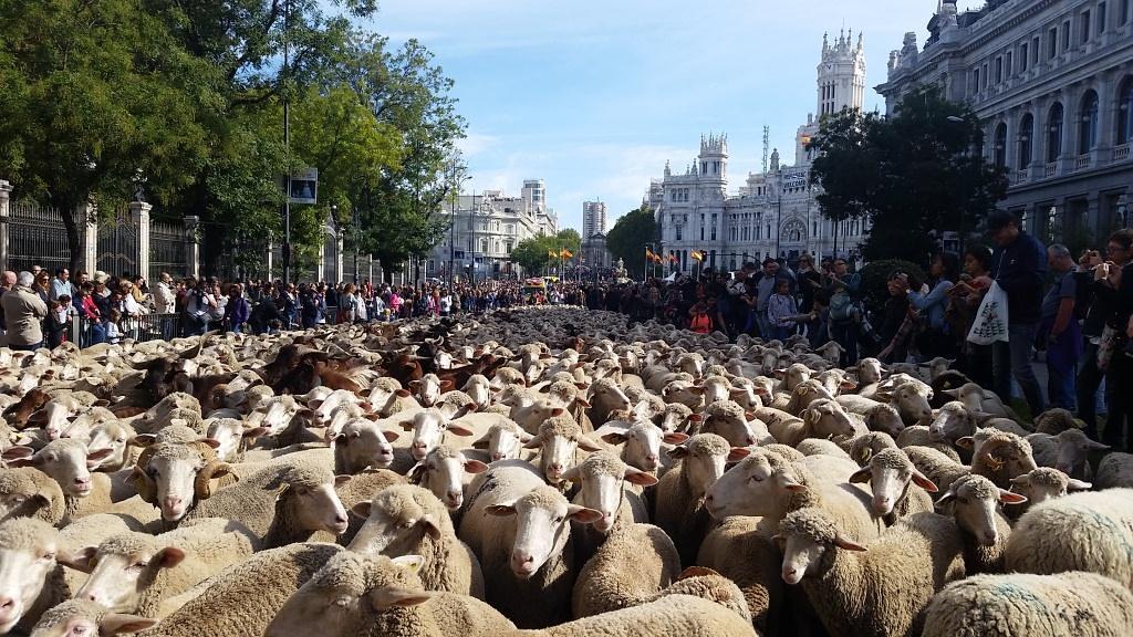 Овцы снова пройдутся по центральным улицам Мадрида